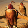 Hunting falcons – UAE desert